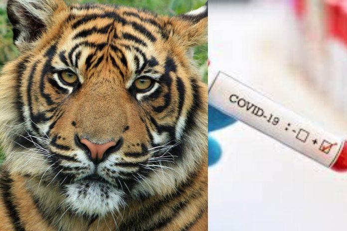 tiger too got covid